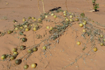 Ripe-Bitter-Apple-fruits-on-the-ground