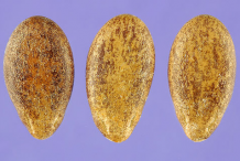 Seeds-of-Bitter-Apple-plant