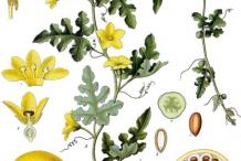 Plant-Illustrations-of-Bitter-Apple-plant