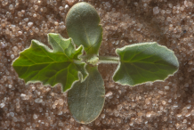 Saplings-of-Bitter-Apple-plant