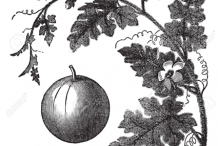 Sketch-of-Bitter-Apple-plant