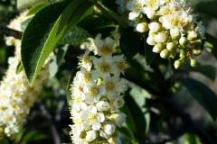 Bitter-Berry-flowers