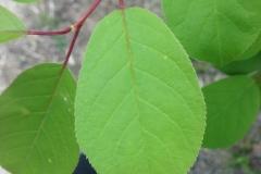 Bitter-Berry-leaves