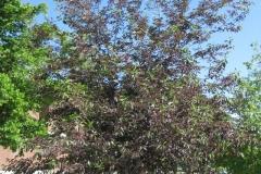 Bitter-Berry-tree