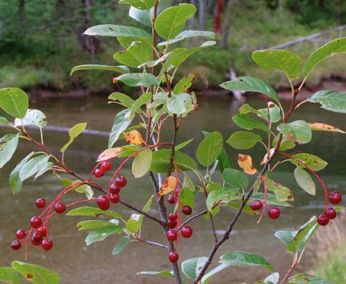 Bitter-Cherry-Plant