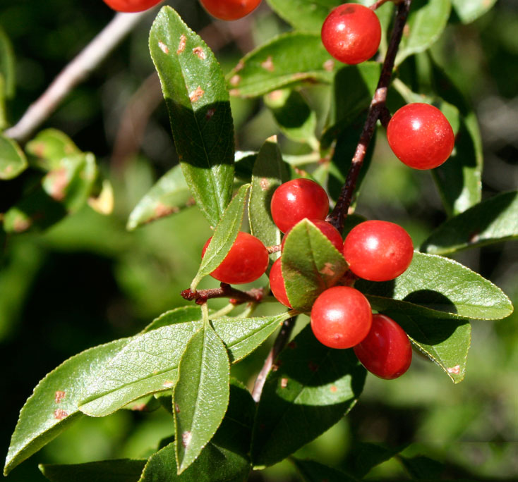 Bitter-cherry-Fruit