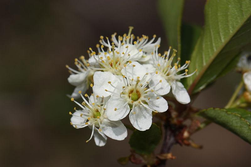 Flowers-of-Bitter-cherry