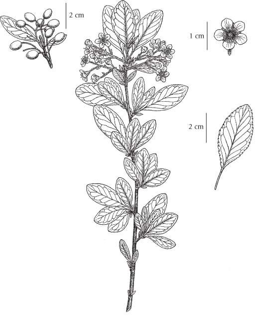 Plant-Illustration-of-Bitter-cherry