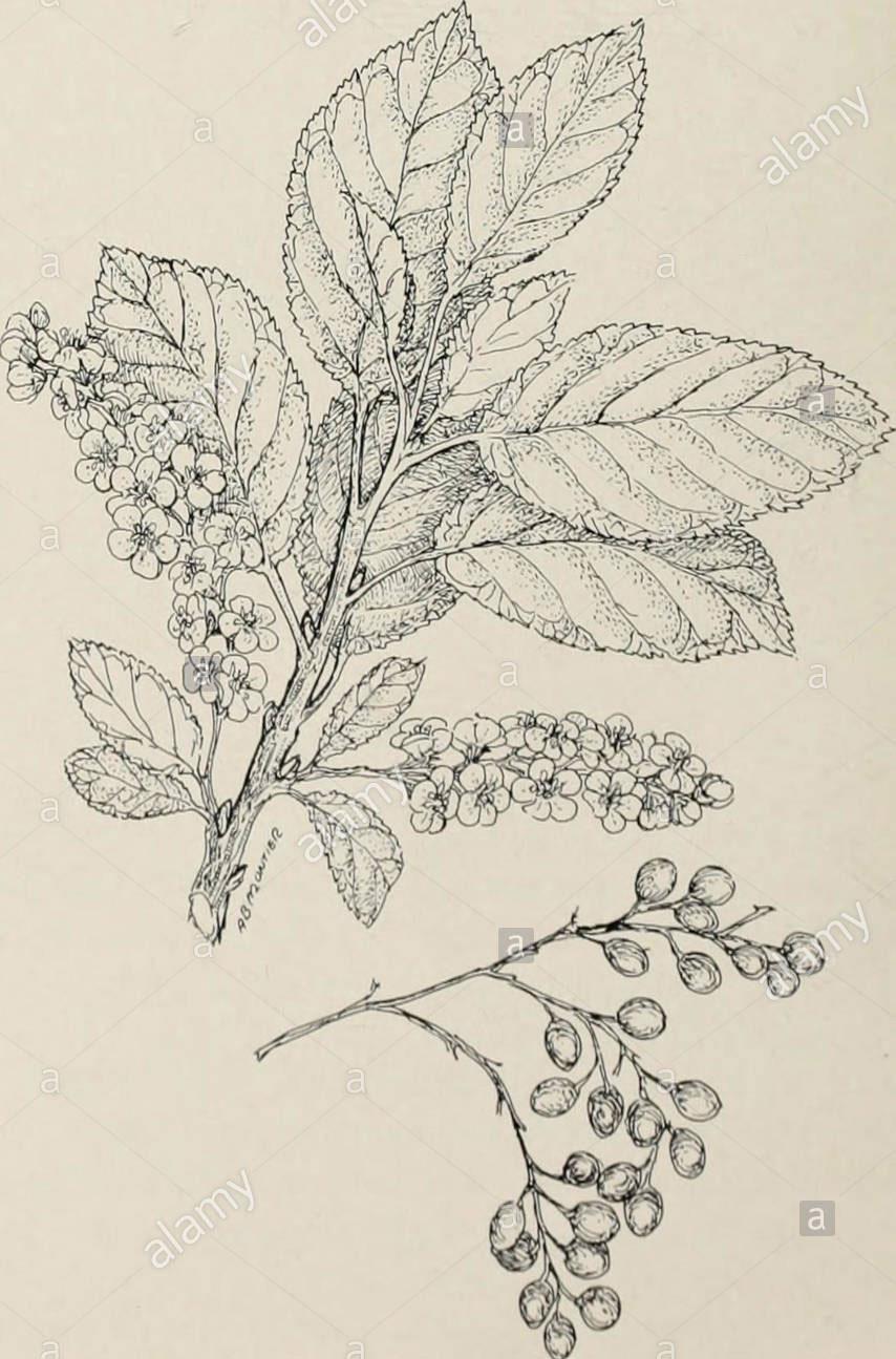 Sketch-of-Bitter-cherry