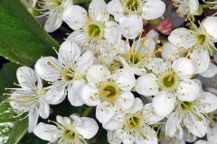 Closer-view-of-flower-of-Bitter-cherry