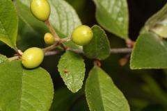 Immature-fruits-of-Bitter-cherry