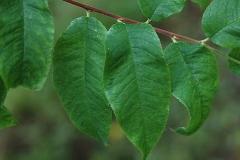Leaves-of-Bitter-cherry