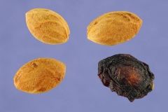 Seeds-of-Bitter-cherry