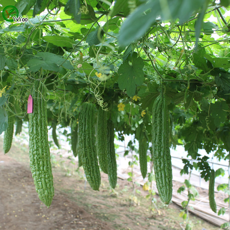 Bitter-gourd-fruit-in-the-plant