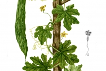 Plant-illustration-of-Bitter-gourd