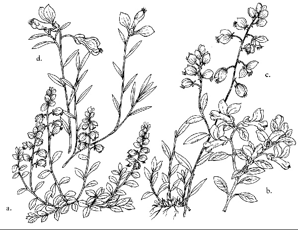 Sketch-of-Bitter-Milkwort-plant