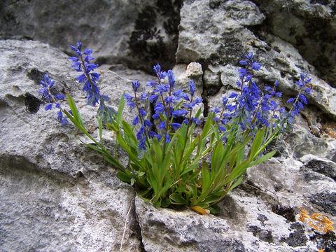 Whole-Bitter-Milkwort-plant