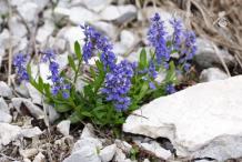 Bitter-Milkwort-plant-growing-wild