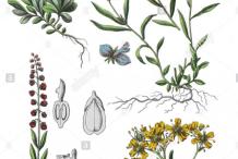 Plant-Illustration-of-Bitter-Milkwort