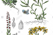 Plant-Illustration-of-Bitter-Milkwort
