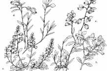 Sketch-of-Bitter-Milkwort-plant