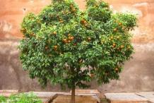 Bitter-orange-tree