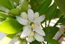 Close-up-flower-of-Bitter-orange
