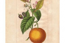 Illustration-of-Bitter-orange
