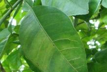Leaves-of-Bitter-orange