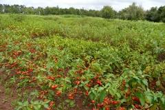Bitter-tomato-farming