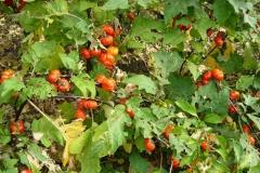 Bitter-tomato-plant-growing-wild