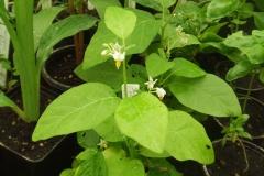 Bitter-tomato-plant