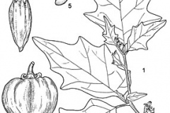 Sketch-of-Bitter-tomato