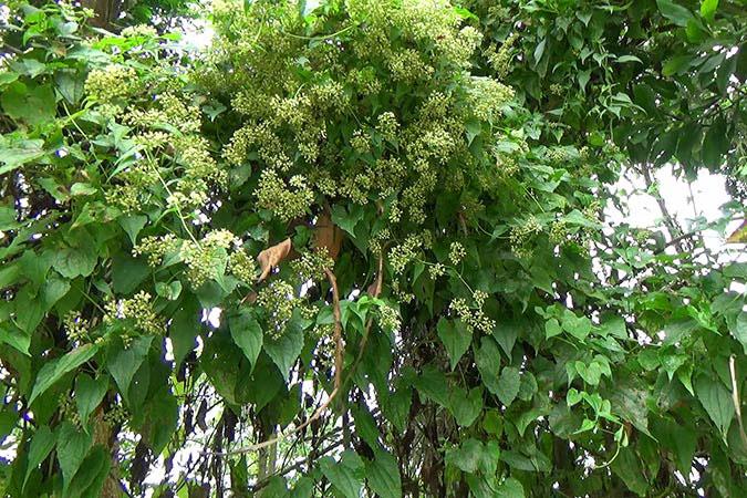 Bitter-vine-plant