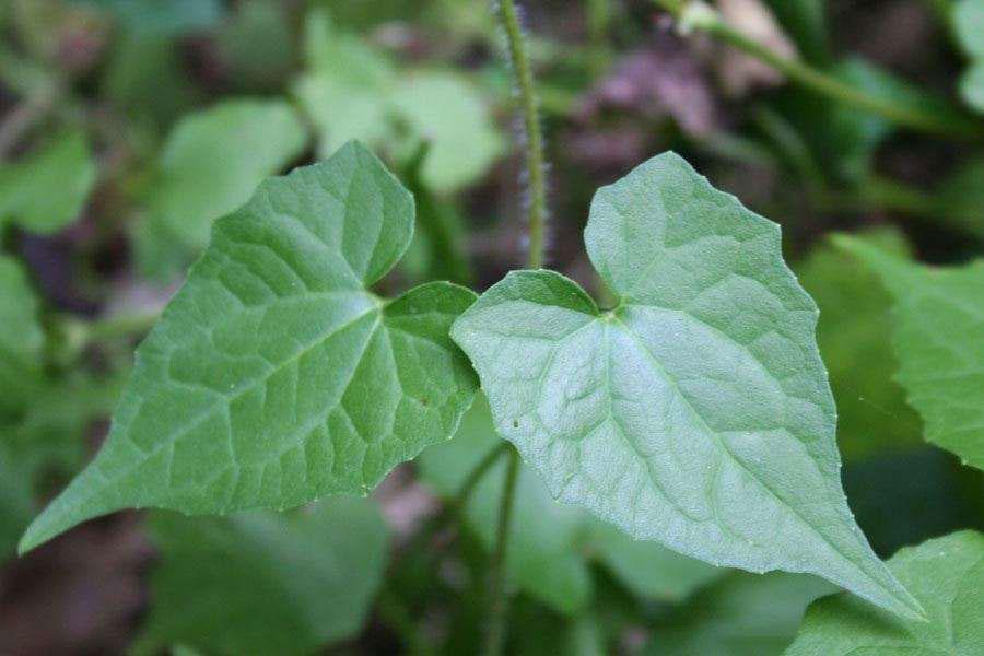 Leaves-of-Bitter-vine