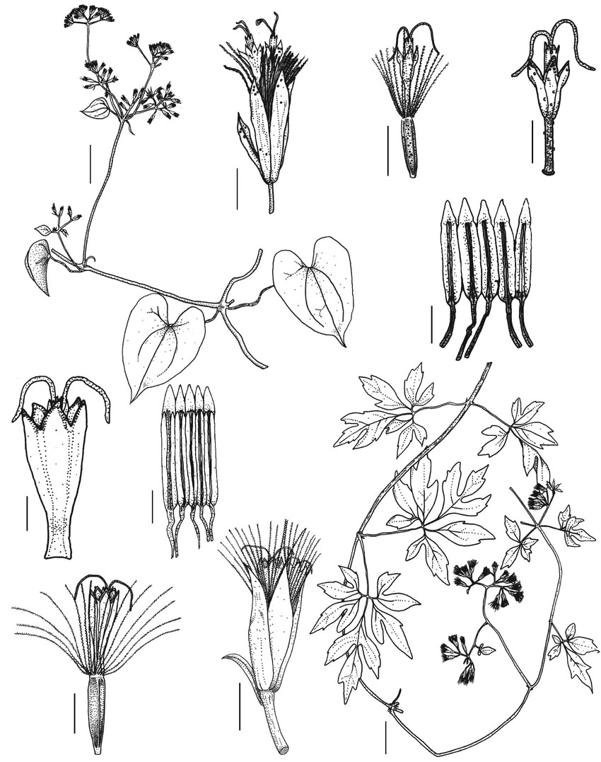 Plant-Illustration-of-Bitter-Vine
