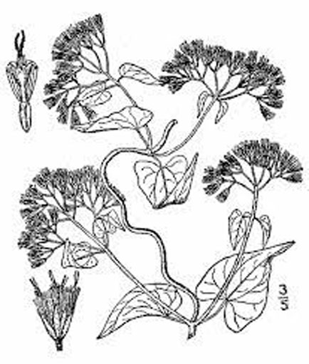 Sketch-of-Bitter-vine