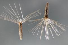 Seeds-of-Bitter-vine