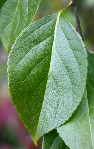Closer-view-of-Leaf
