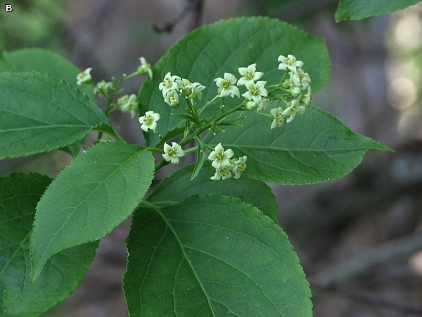 Flower-of-Bittersweet-plant
