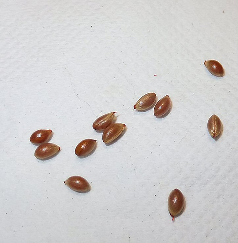 Seeds-of-Bittersweet-plant
