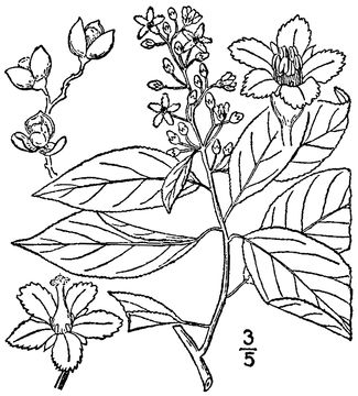 Sketch-of-Bittersweet-plant