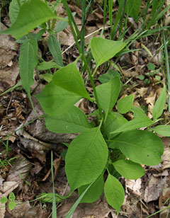 Small-Bittersweet-Plant