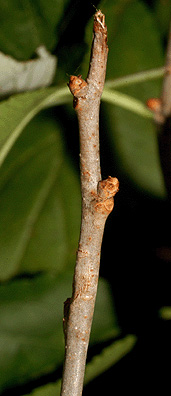 Twig-of-Bittersweet-plant