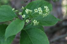 Flower-of-Bittersweet-plant
