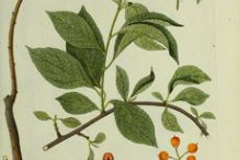 Plant-Illustration-of-Bittersweet-plant