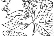 Sketch-of-Bittersweet-plant