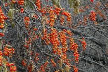 Bittersweet-Plant
