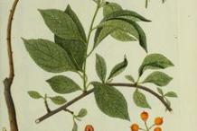 Plant-Illustration-of-Bittersweet-plant