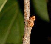 Twig-of-Bittersweet-plant